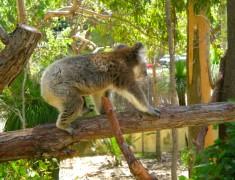 koala blog voyage vizeo australie