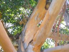 koalas parc yanchep roadtrip australie