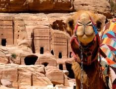 dromadaire petra jordanie