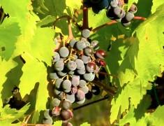 grappe de raison vin du chianti italie
