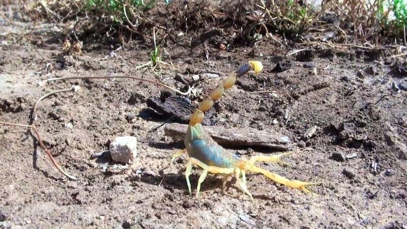 scorpion vallée de dana Jordanie